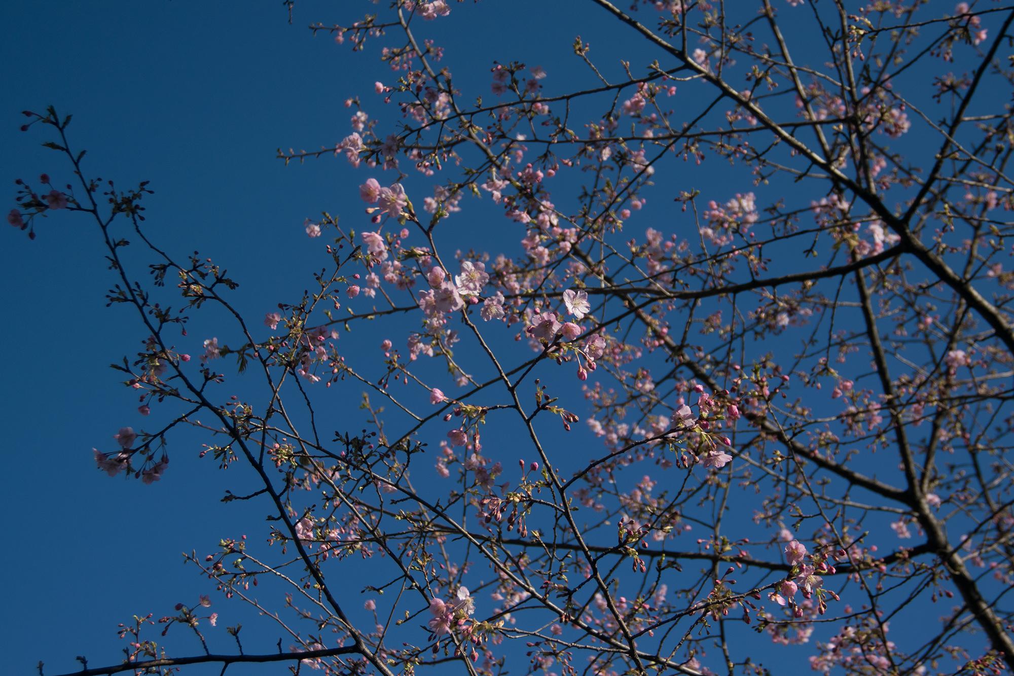 2017年立春 御徒町公園の早咲きの桜が花を付けました
